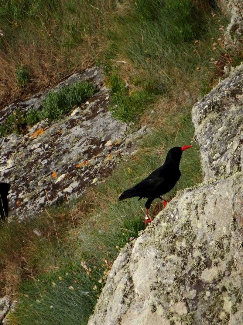 Suivi 2014 du Crave à bec rouge (Pyrrhocorax pyrrhocorax) en Bretagne 47610