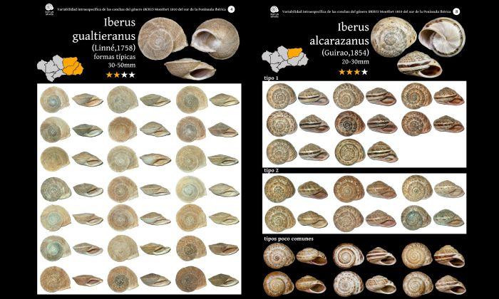 Malacofaune du sud de l'Espagne : Caracoles terrestres de Andalucía Galeri11
