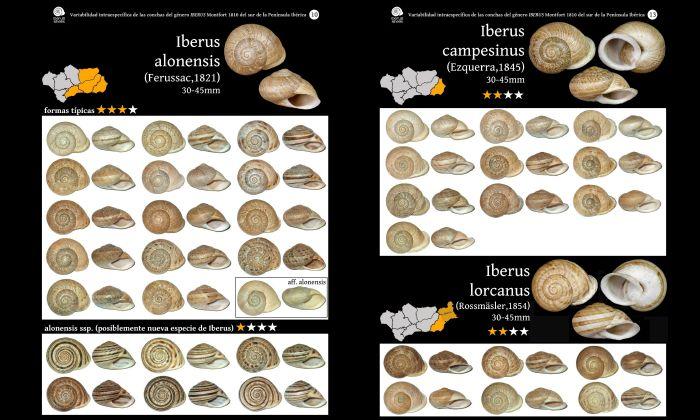 Malacofaune du sud de l'Espagne : Caracoles terrestres de Andalucía Galeri12