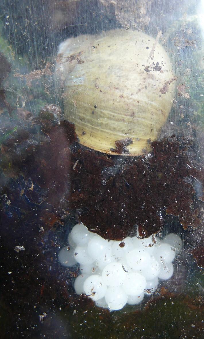 Helix aspersa var. exalbida Moquin-Tandon, 1855 - Page 2 L1090910