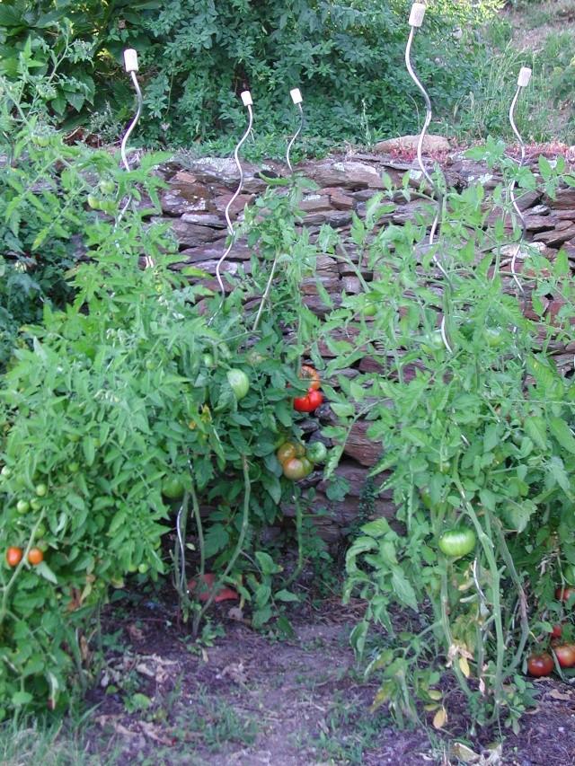 Solanum lycopersicum - les tomates - Page 5 Dscn4510