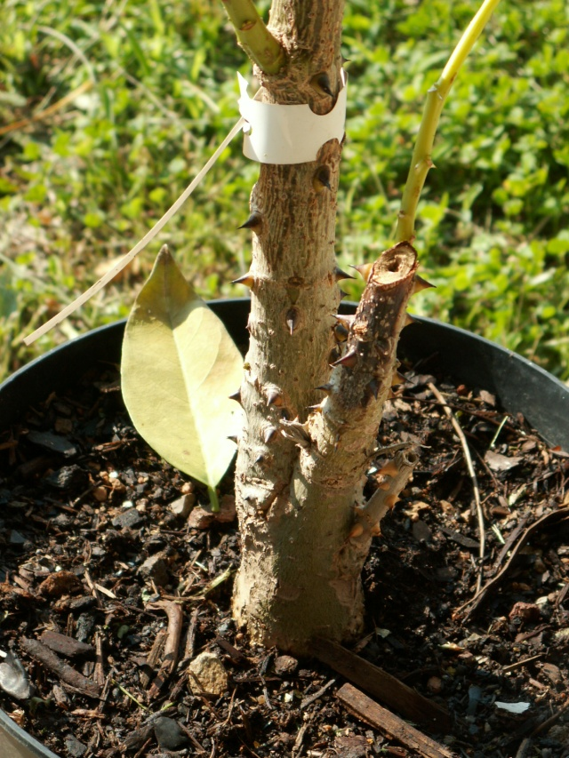 Erythrina crista-galli [identification] Pict4815