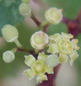 Ampelopsis glandulosa var. brevipedunculata  (= Ampelopsis brevipedunculata) Pict4911