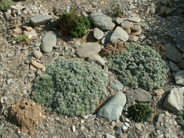 Artemisia lanata ? 1 [identification non terminée] Pict5210