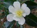 Camellia - choix & conseils de culture 14151310