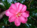 Camellia - choix & conseils de culture 14151413