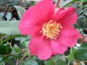 Camellia - choix & conseils de culture 14166810