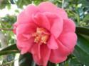 Camellia - choix & conseils de culture 14197711