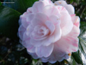 Camellia - choix & conseils de culture 14197712