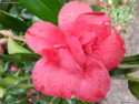 Camellia - choix & conseils de culture 14197714