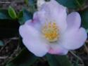 Camellia - choix & conseils de culture 14296011