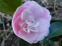 Camellia - choix & conseils de culture 14296012