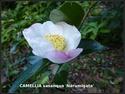 Camellia - choix & conseils de culture 50341810