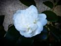 Camellia - choix & conseils de culture 86788410