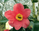 Camellia - choix & conseils de culture Alain-10
