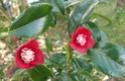 Camellia - choix & conseils de culture Bokuan10