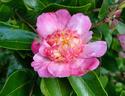 Camellia - choix & conseils de culture Chojig10
