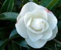 Camellia - choix & conseils de culture Early-10