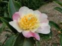 Camellia - choix & conseils de culture Franco10