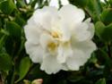 Camellia - choix & conseils de culture Gay-su10