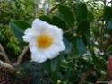 Camellia - choix & conseils de culture Gbpix_10