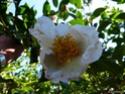 Camellia - choix & conseils de culture Gbpix_11
