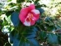 Camellia - choix & conseils de culture Gbpix_12