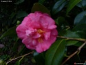 Camellia - choix & conseils de culture Gbpix_13