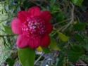 Camellia - choix & conseils de culture Gbpix_14