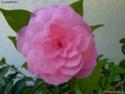 Camellia - choix & conseils de culture Gbpix_15