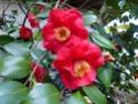 Camellia - choix & conseils de culture Gbpix_17