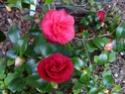 Camellia - choix & conseils de culture Gbpix_18