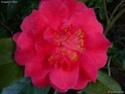 Camellia - choix & conseils de culture Gbpix_19