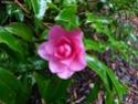 Camellia - choix & conseils de culture Gbpix_21