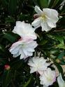 Camellia - choix & conseils de culture Paradi10