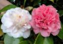 Camellia - choix & conseils de culture Presto11