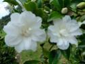Camellia - choix & conseils de culture Silver10