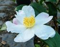 Camellia - choix & conseils de culture Surviv10