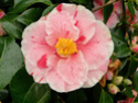 Camellia - choix & conseils de culture Tricol10