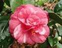 Camellia - choix & conseils de culture Varieg10