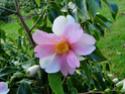 Camellia - choix & conseils de culture Yume_i10