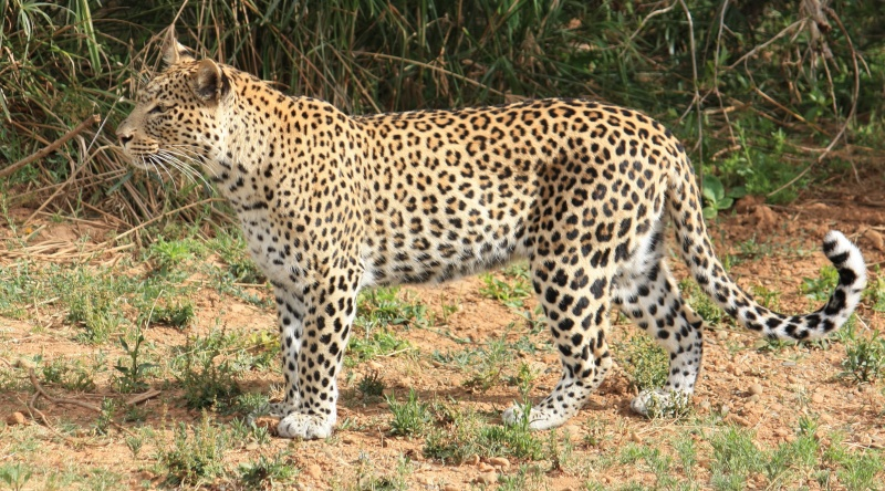 Leopardo Africano (Fêmea) VS Hiena Malhada (Macho)  Female10