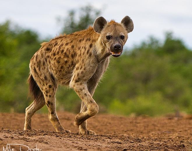 Leopardo Africano (Fêmea) VS Hiena Malhada (Macho)  Male10