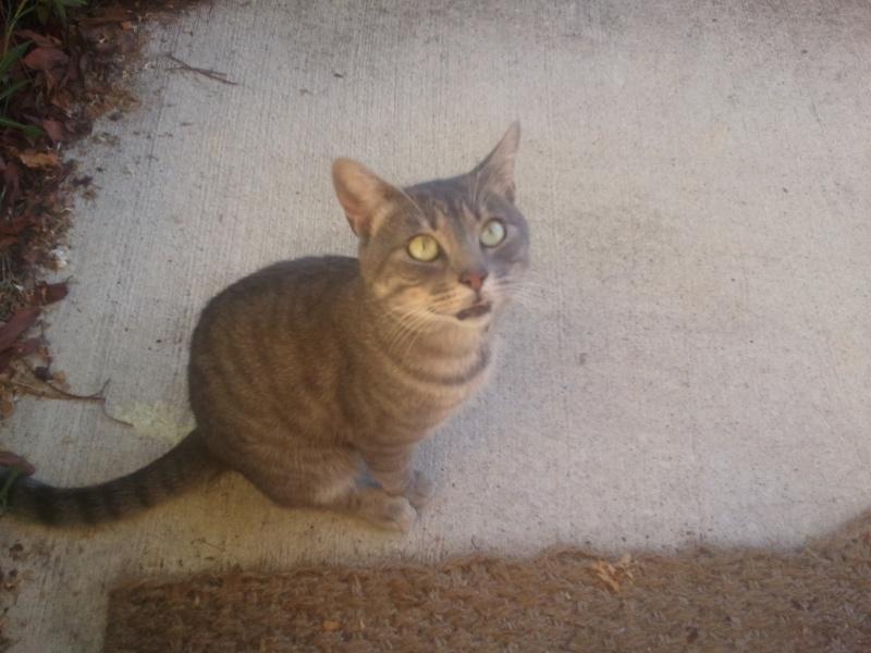 Trouvé chat tigré à la Salvetat Saint Gilles 2014-010