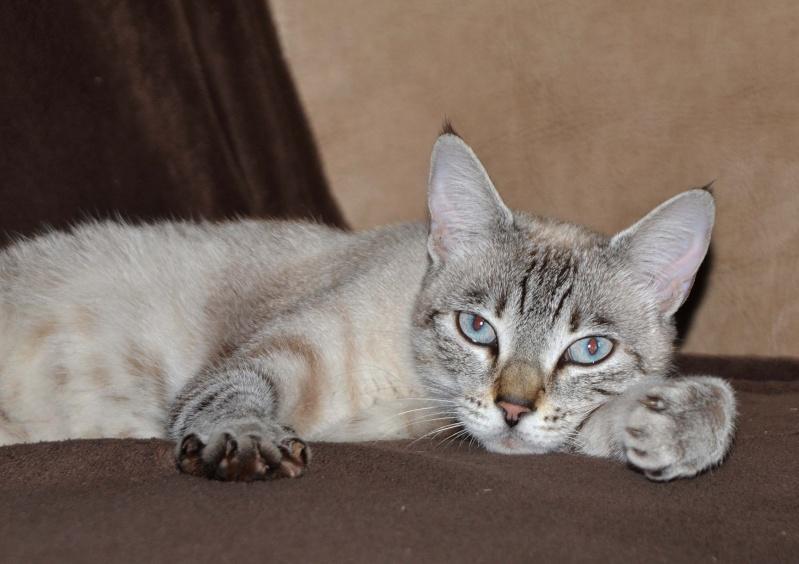 Trouvée chatte typée siamoise à Colomiers Dsc_3010