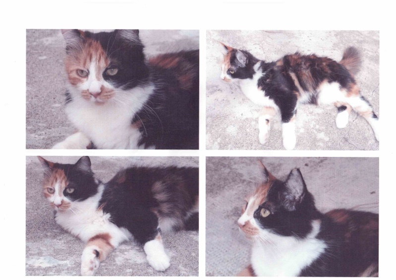 Trouvée chatte tricolore à Colomiers Numari10