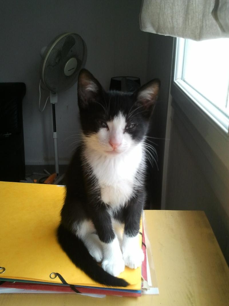 Perdu chaton noir et blanc à Lévignac Sox_10