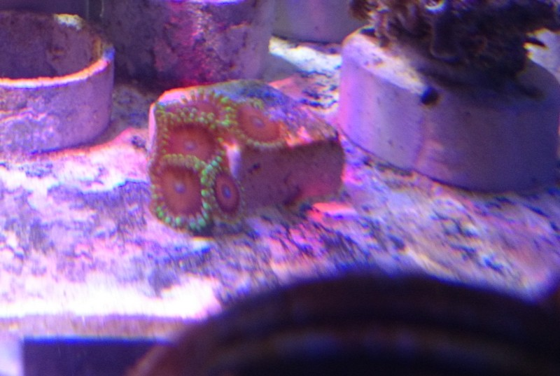 reef cube by hotmars - Page 13 Dsc_0815