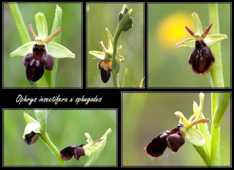 Ophrys aranifera X insectifera (x hybrida) 2410