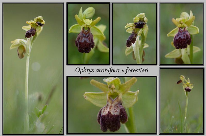 Ophrys aranifera × forestieri 2510